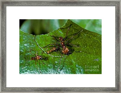 Leafcutter Ants Cutting Leaf Framed Print