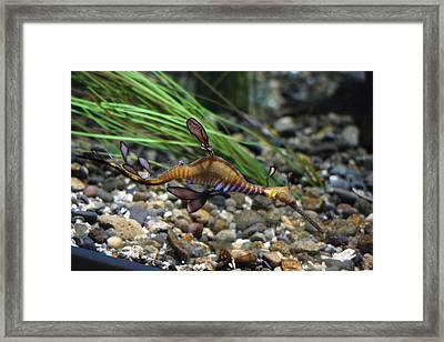 Leafy Dragon Seahorse - 0001 Framed Print by S and S Photo