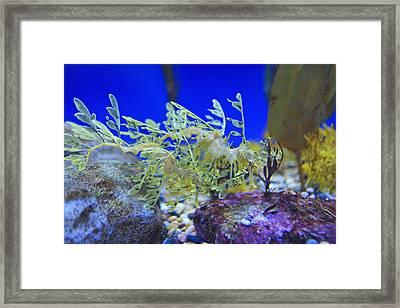 Leafy Seadragon Phycodurus Eques At The Framed Print