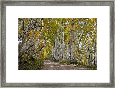 Leaning Aspens Framed Print by Marta Alfred