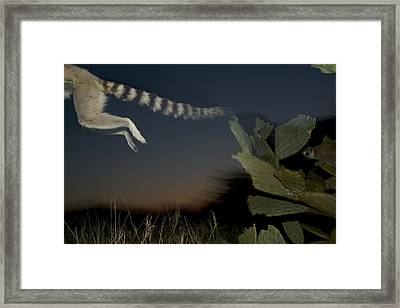 Leaping Ring-tailed Lemur  Framed Print by Cyril Ruoso