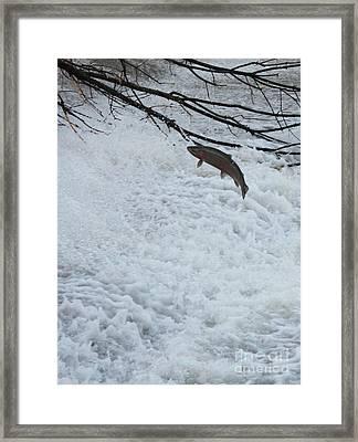 Leaping Steelhead Framed Print by Paul Hurtubise