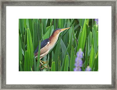 Least Bittern Framed Print by Jennifer Zelik