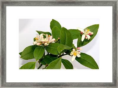 Lemon Blossom Framed Print by Karen Grist