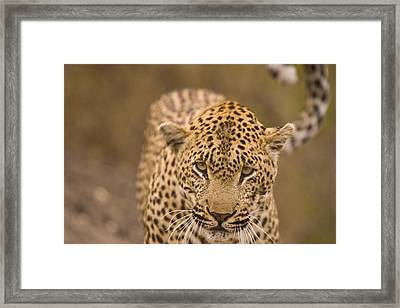 Leopard Panthera Pardus, Arathusa Framed Print by Stuart Westmorland