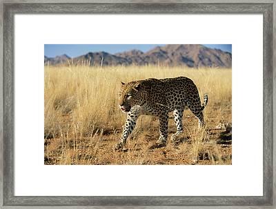 Leopard Panthera Pardus Walking, Africa Framed Print by Winfried Wisniewski