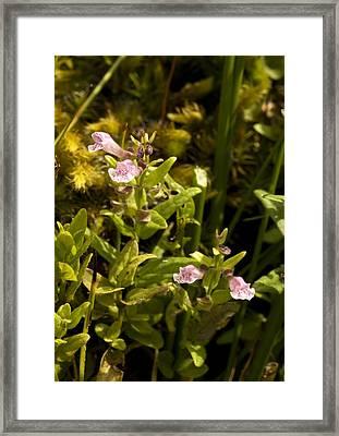 Lesser Skullcap (scutellaria Minor) Framed Print