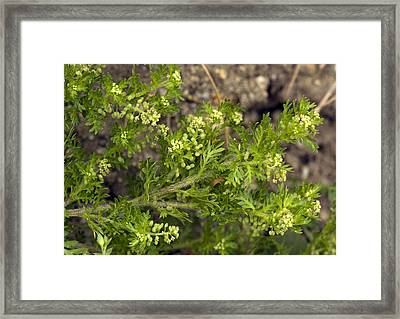 Lesser Swine-cress (coronopus Didymus) Framed Print by Bob Gibbons