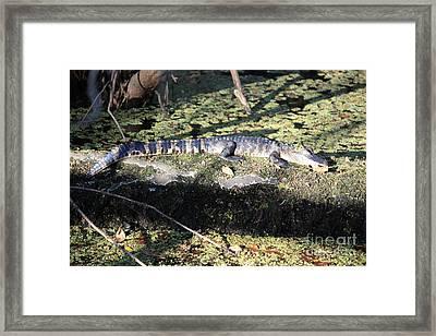 Let Sleeping Baby Gators Lie Framed Print by Carol Groenen