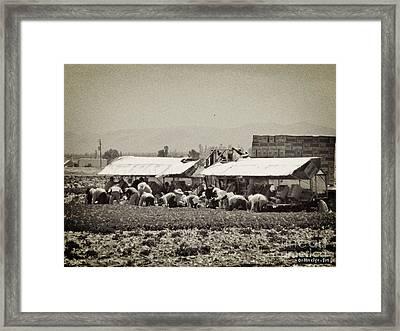 Lettuce Harvest Framed Print by Methune Hively