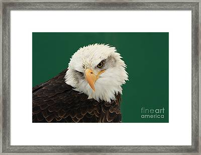 Liberty- American Bald Eagle Framed Print
