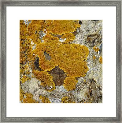 Lichen, Xanthoria Aureola Framed Print by Dr Jeremy Burgess