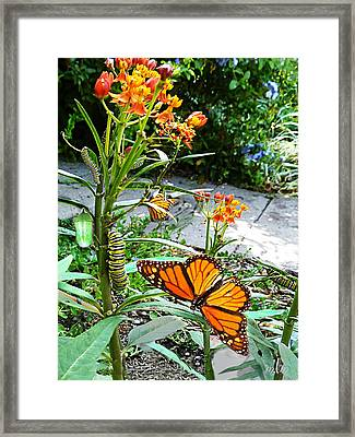 Life Cycle Of Monarch Framed Print