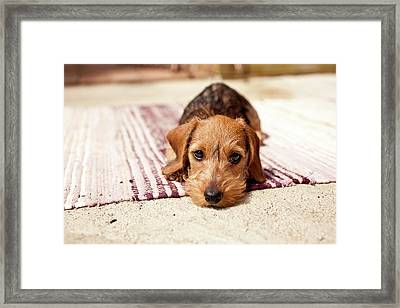 Light Brown Dachshund Puppy Framed Print by Håkan Dahlström