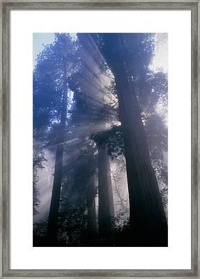 Light Coming Through Redwood Trees. Framed Print by Kaj R. Svensson