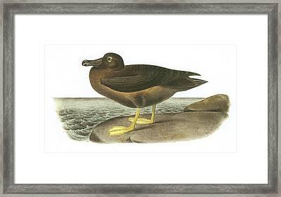 Light-mantled Sooty Albatross Framed Print by John James Audubon