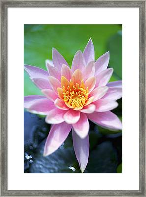 Light Pink Water Lily Framed Print by Kicka Witte