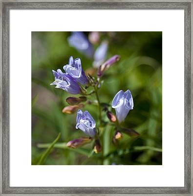 Light Purple Wild Penstemons  Framed Print by Paul Cannon