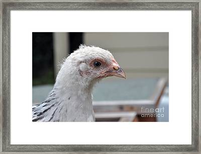 Light Sussex  Framed Print by Joanne Kocwin