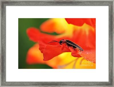 Lightning Bug On Gladiolus Framed Print by Thomas R Fletcher