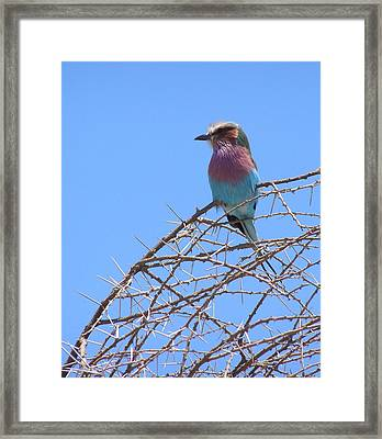 Lilac Breasted Roller Framed Print by Louise Peardon