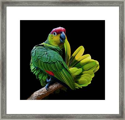 Lilacine Amazon Parrot Isolated On Black Backgro Framed Print by Photo by Steve Wilson
