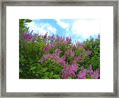Lilacs In Rochester Ny Framed Print by Jeanette Oberholtzer