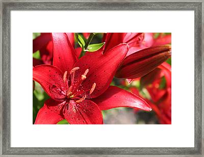 Framed Print featuring the photograph Lilies In Red by Laurel Talabere