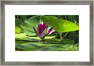 Lilies No. 41 Framed Print