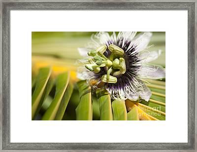 Lilikoi Framed Print by Sharon Mau