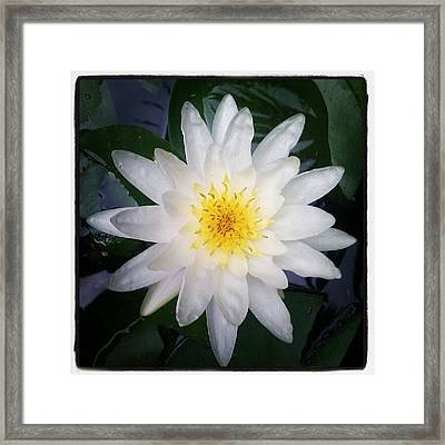 Lillypad Flower In Our Backyard Pond Framed Print