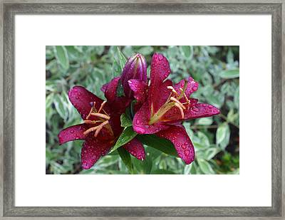 Framed Print featuring the photograph Lily And Rain by Jerry Cahill