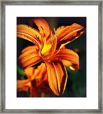 Lily At Sunset Framed Print