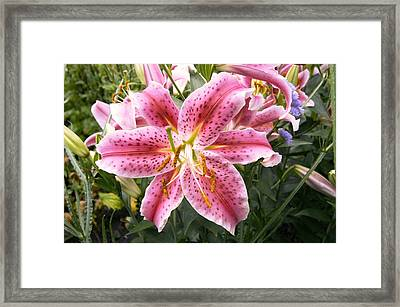 Lily (lilium 'stargazer') Framed Print by Adrian Thomas