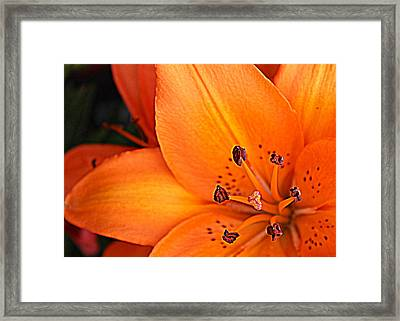 Framed Print featuring the photograph Lily Lily by Bob Whitt