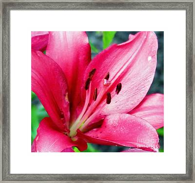 Lily Framed Print by Lorraine Louwerse