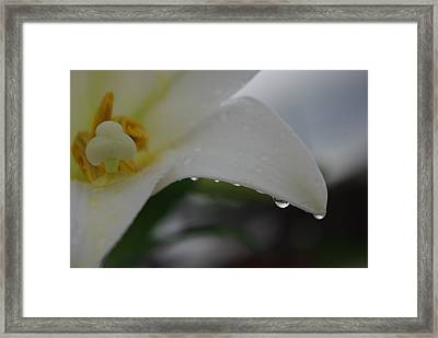 Lily Of Tears Framed Print by Robyn Stacey