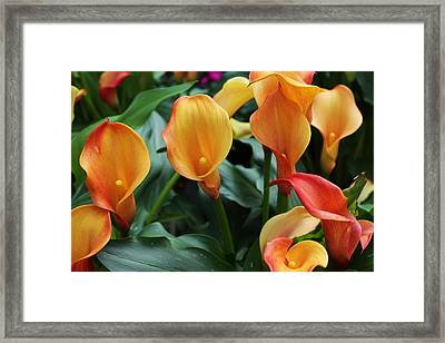 Lily Of The Nile Framed Print by Bob Whitt