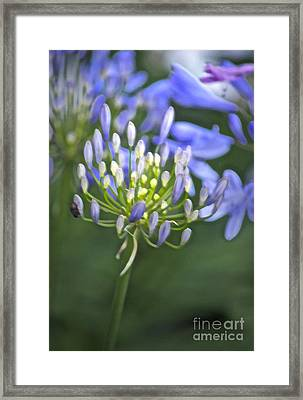 Lily Of The Nile Framed Print by Gwyn Newcombe