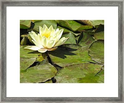 Lily Pad Flower Fine Art Print Framed Print by Ian Stevenson