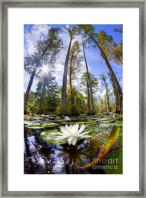 Lily Pad Flower In Cypress Swamp Forest Framed Print by Dustin K Ryan