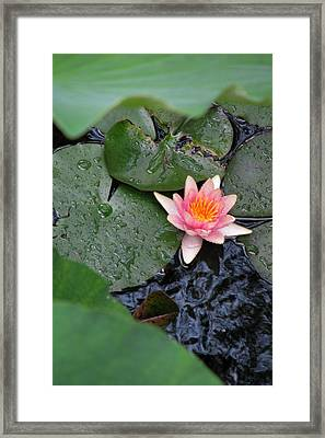Lily Pad II Framed Print by Suzanne Fenster