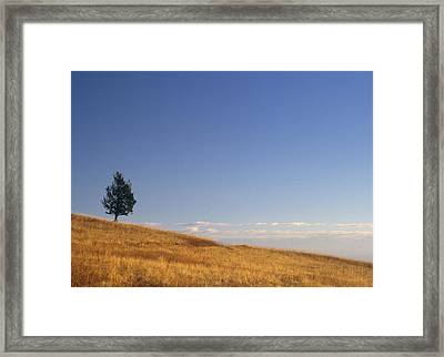 Limber Pine On Grazing Land, Porcupine Framed Print by Darwin Wiggett