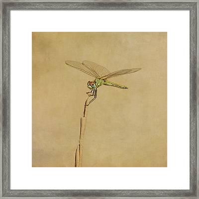 Lime Green Dragonfly Framed Print by Paul Grand Image