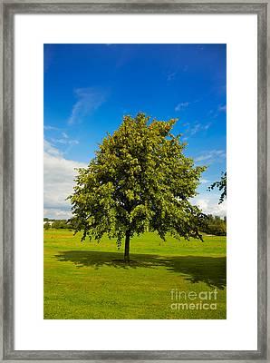 Lime Tree In Summer Framed Print by Gabriela Insuratelu