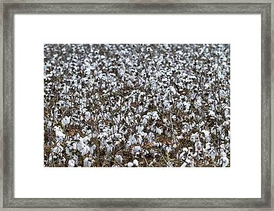 Limestone County Cotton Field Framed Print by Kathy Clark