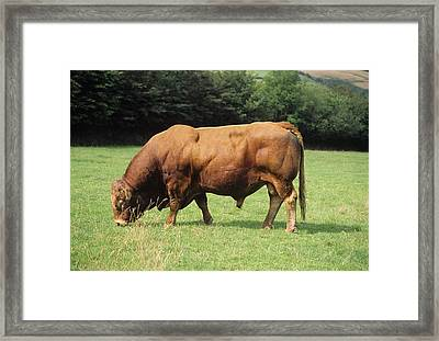 Limousin Bull Framed Print by David Aubrey