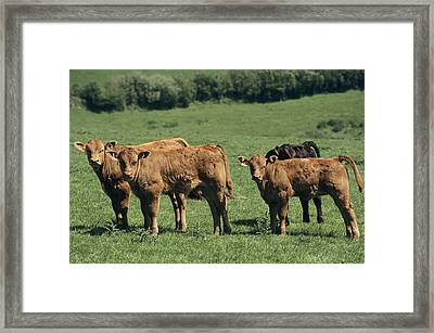 Limousin Calves Framed Print by David Aubrey