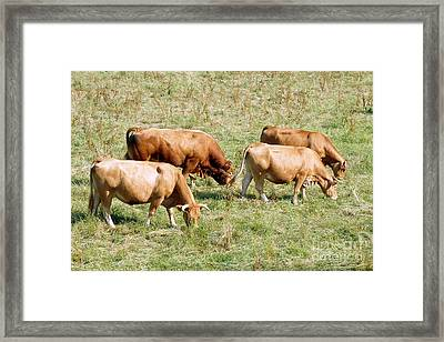 Limousin Cattle In The Summer Framed Print by Rod Jones