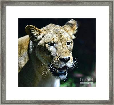 Lion - Endangered Species - Wildlife Framed Print by Paul Ward